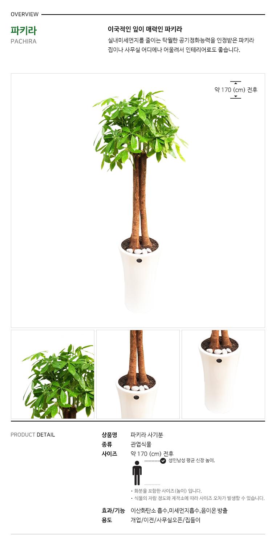 개업 화분 관엽식물 통 파키라 상품 설명입니다.